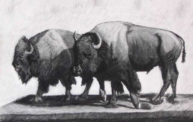 Buffaloes, Charcoal Drawing by Jack Collier. Beginner Drawing Adult Student